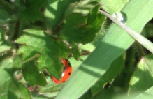 ladybird 4