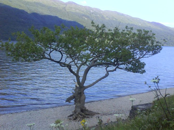 Tree on shore at Loch Lomond